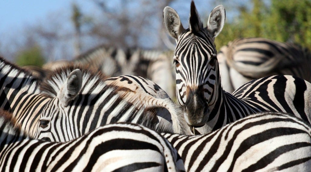 zebra facts and zebra meaning