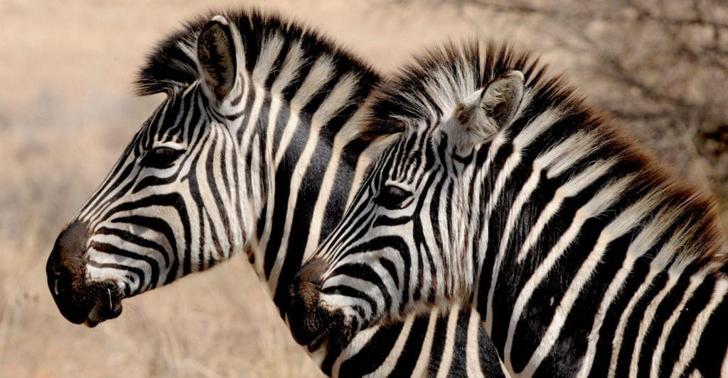 zebra facts and zebra symbolic meaning