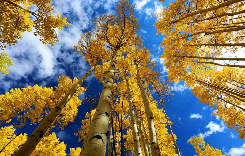 celtic meaning aspen tree meaning in the ogham