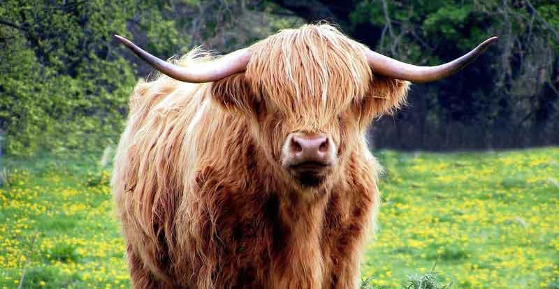 Celtic bull sign meaning