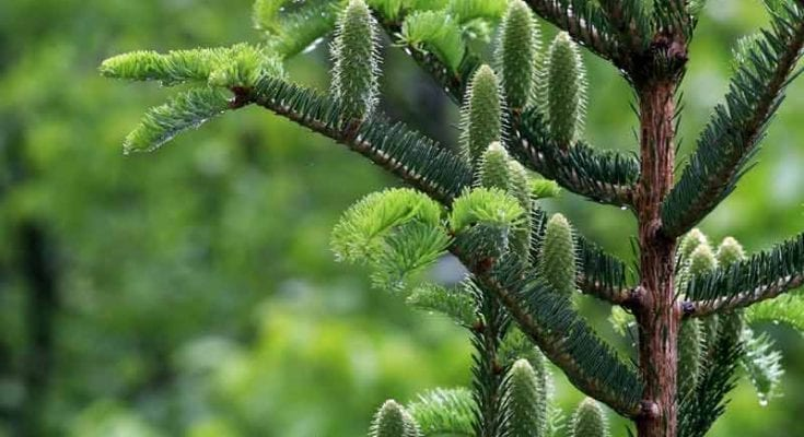 celtic meaning fir tree and tree meaning in the Druid ogham