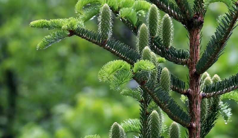 Celtic Meaning Fir Tree