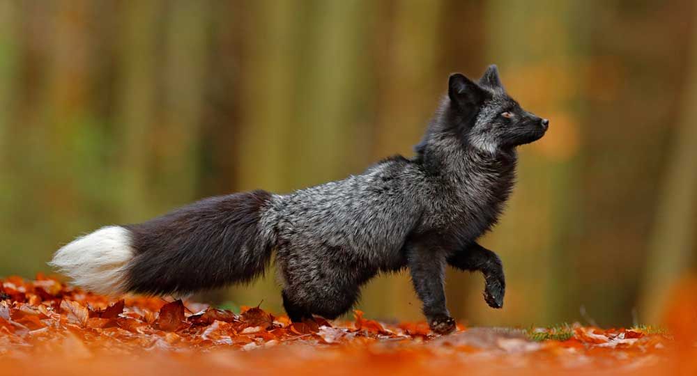 Celtic zodiac sign fox meaning