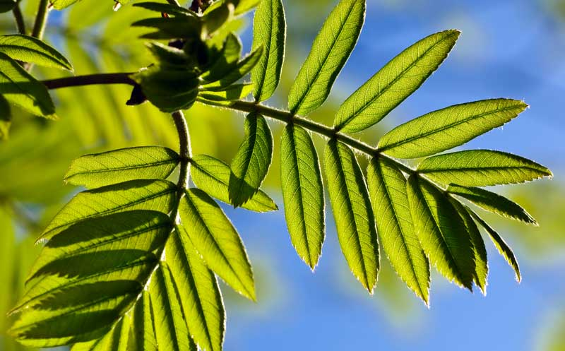 celtic meaning rowan tree meaning ogham