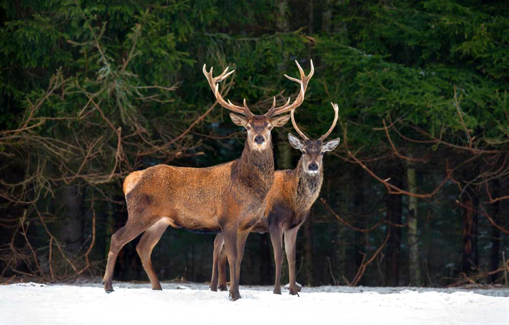 celtic zodiac sign stag and deer meaning