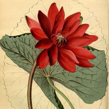 Chinese flower meaning lotus meaning