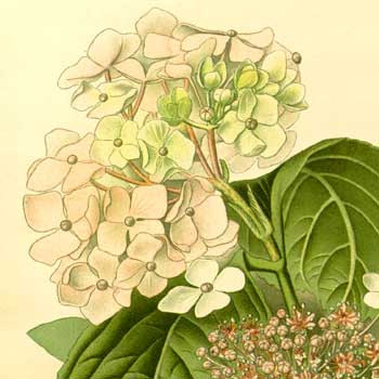 Chinese flower meanings hydrangea
