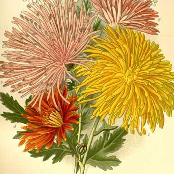 Chinese flower meaning chrysanthemum
