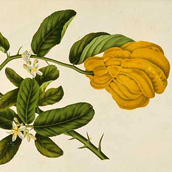 Chinese flower meanings citron flower meaning