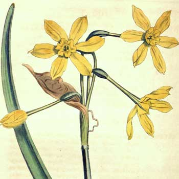 Chinese flower meaning narcissus
