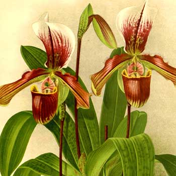 Chinese flower meaning orchid