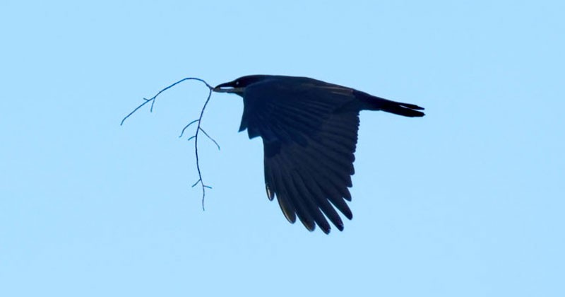 Crow symbolism and crow meaning