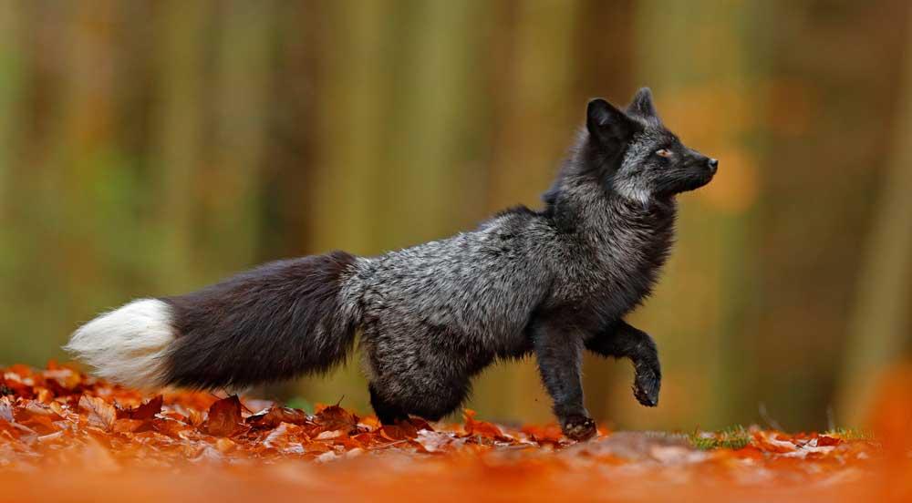 fox meaning animal symbolism