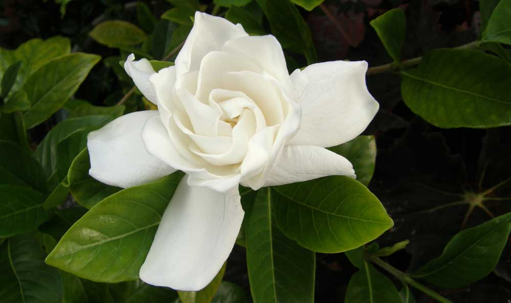 Flower meanings gardenia symbolic meaning on whats your sign white is clean it is a blank canvas upon which we can paint our ideas impressions and dreams and gardenias are mightily generous when it comes to dreams mightylinksfo