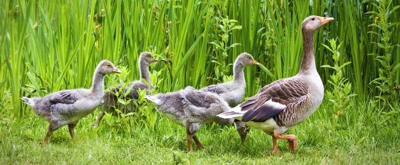 symbolic goose meaning and meaning of geese