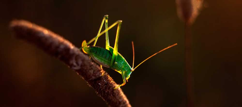 grasshopper totem meaning