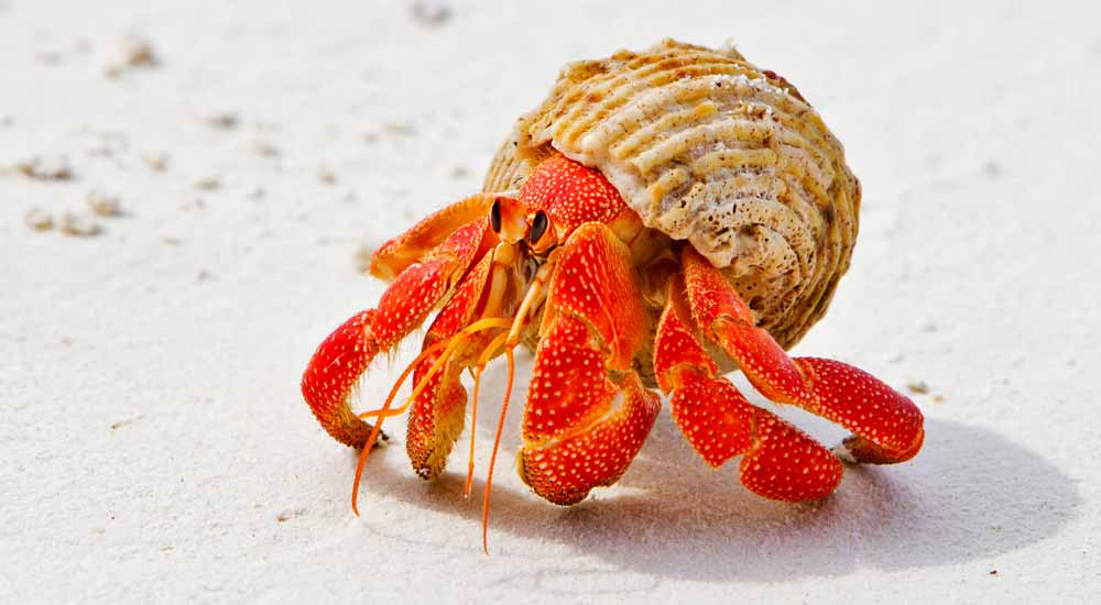 hermit crab meaning