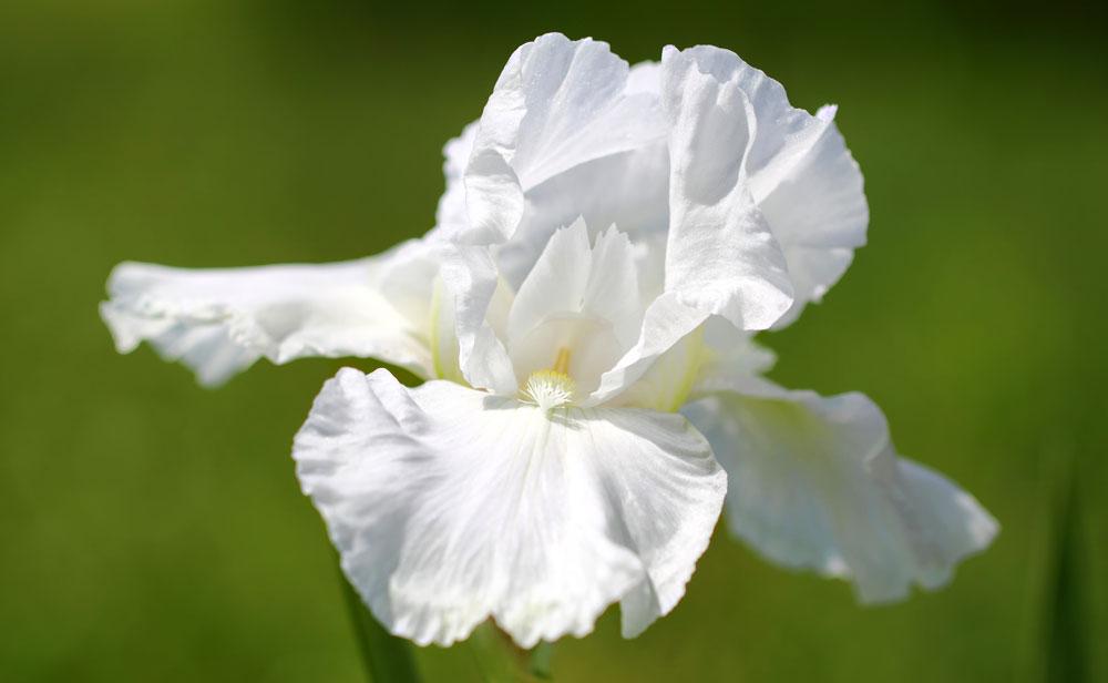 iris flower meanings