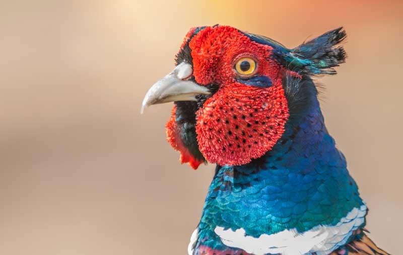 symbolic pheasant meaning