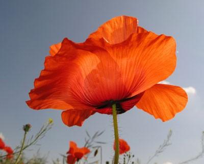 poppy memorial symbol