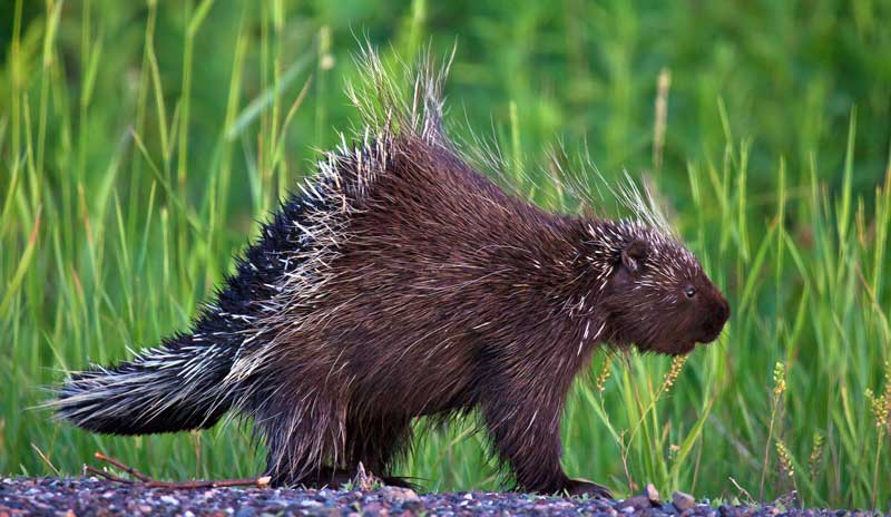 symbolic porcupine meaning