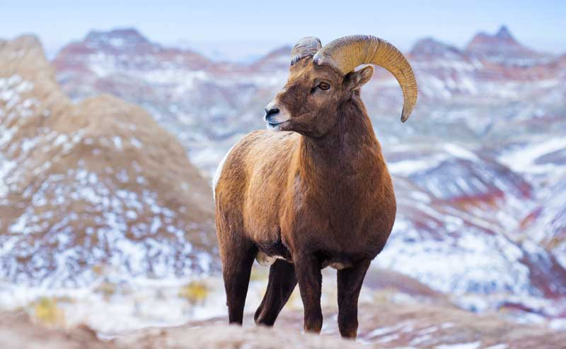 Animal Symbolism: Ram Meaning on Whats-Your-Sign.com