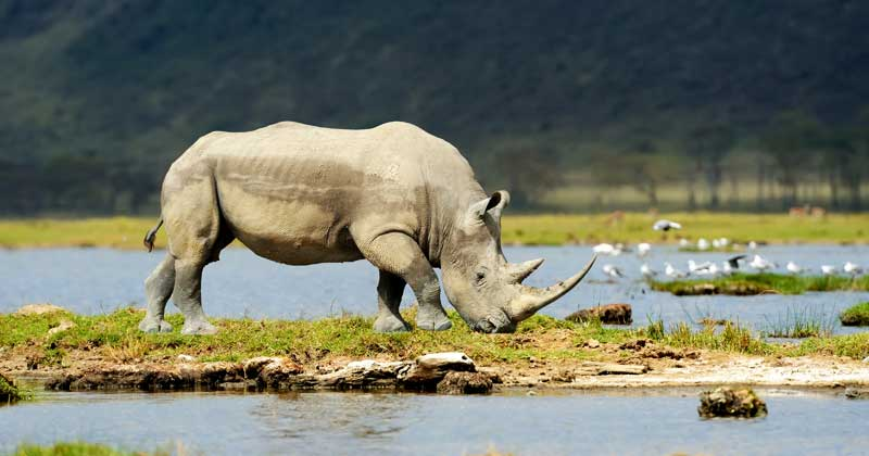Rhinoceros Meaning