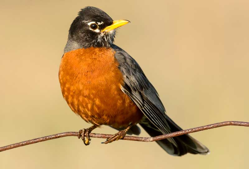 symbolic robin meaning