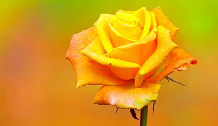 rose tattoo meaning and rose tattoo ideas