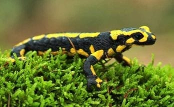 symbolic salamander meaning