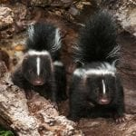 symbolic skunk meaning