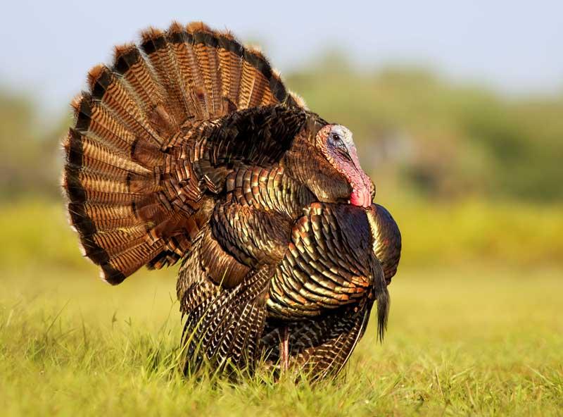 symbolic turkey meaning
