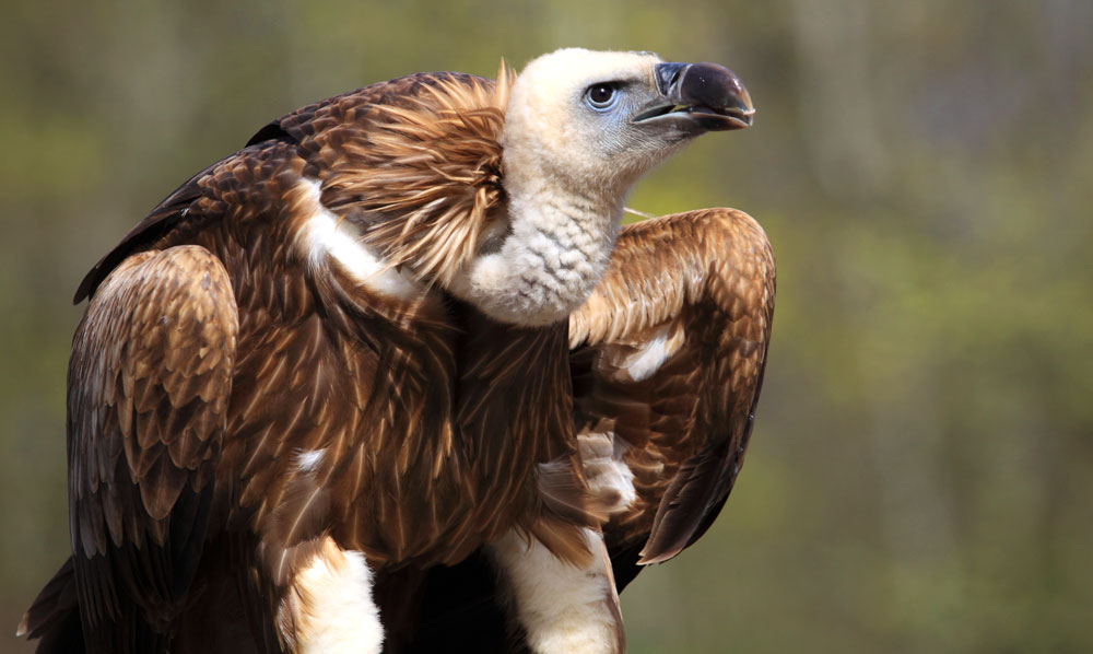 vulture meaning and law of attraction