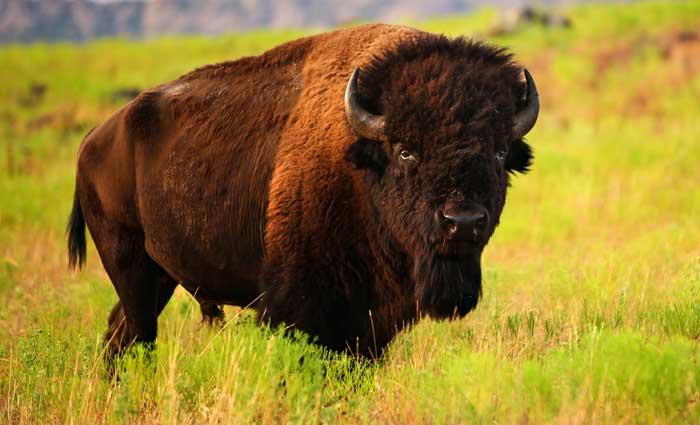 Buffalo totem and symbolic buffalo meaning