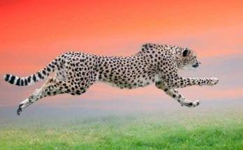 cheetah totem meaning and cheetah symbolism