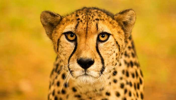 symbolic cheetah meaning