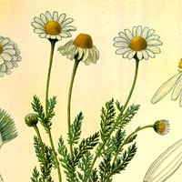 Aromatherapy oil meanings chamomile meaning