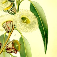 Aromatherapy oil meanings eucalyptus meaning