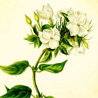 Aromatherapy oil meanings jasmine meaning