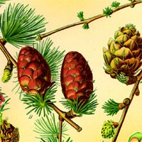 Aromatherapy oil meanings pine meaning