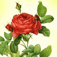 Aromatherapy oil meanings rose meaning