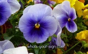 symbolic violet meaning symbolic flower meaning