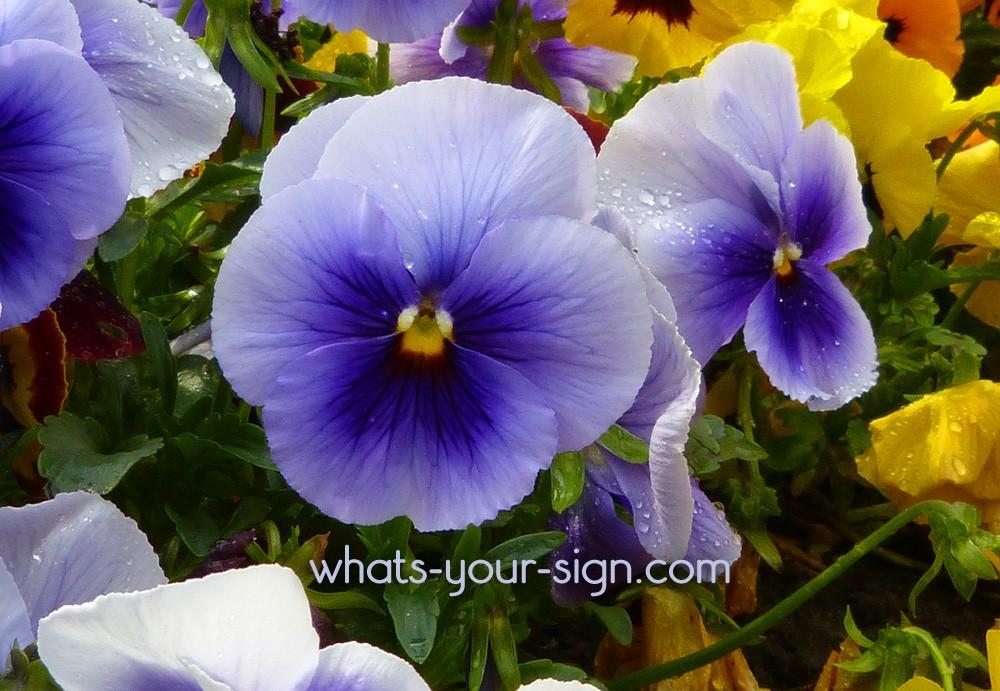 Symbolic Violet Meaning: A True Symbol of Love and Harmony