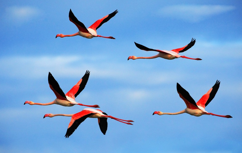 Flamingo Totem Meaning and Flamingo Facts