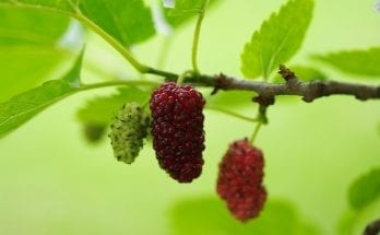 Mulberry Tree Meaning