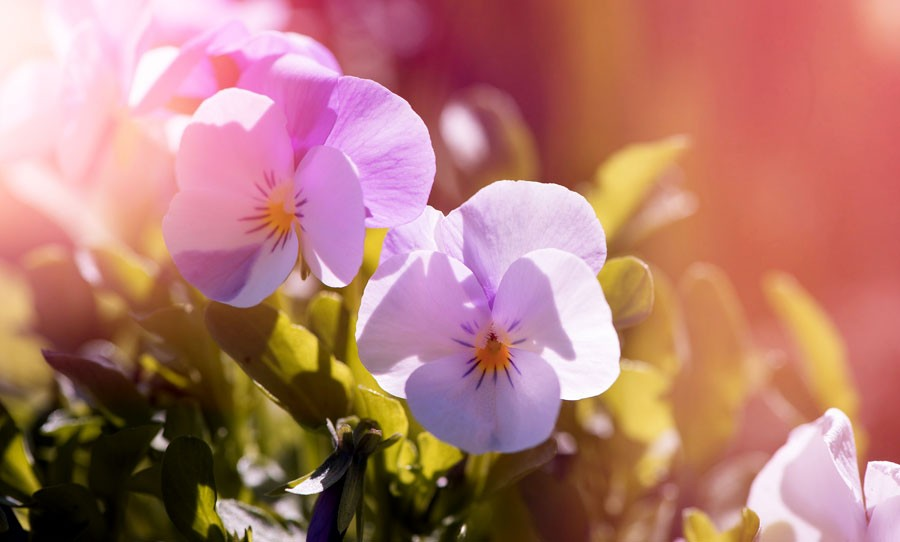 flower meanings and love symbols