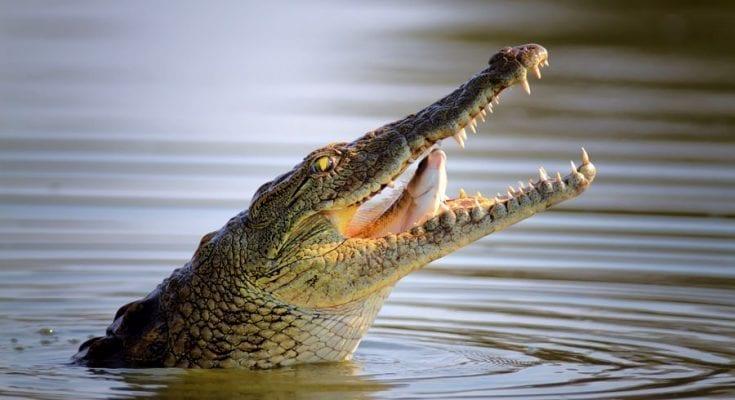 Crocodile Totem Meanings