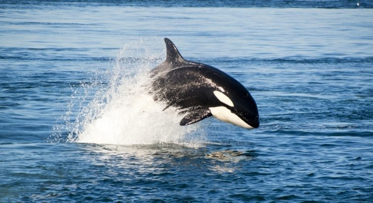 Tlingit orca whale meaning