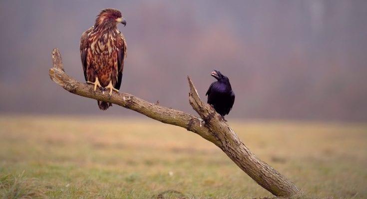 hawk and raven meaning