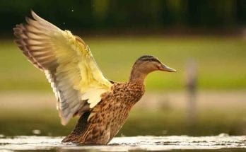 symbolic duck meaning
